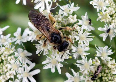 DSCF5979 Halictus sexcintus (2)