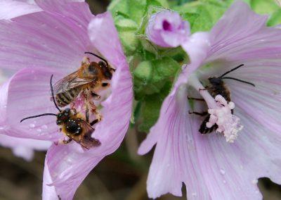 Malvenlanghornbiene (1)